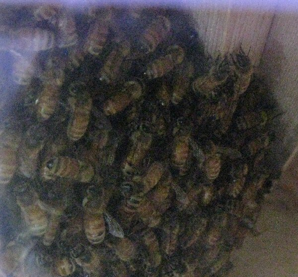 Big ball of bees seen through hive window