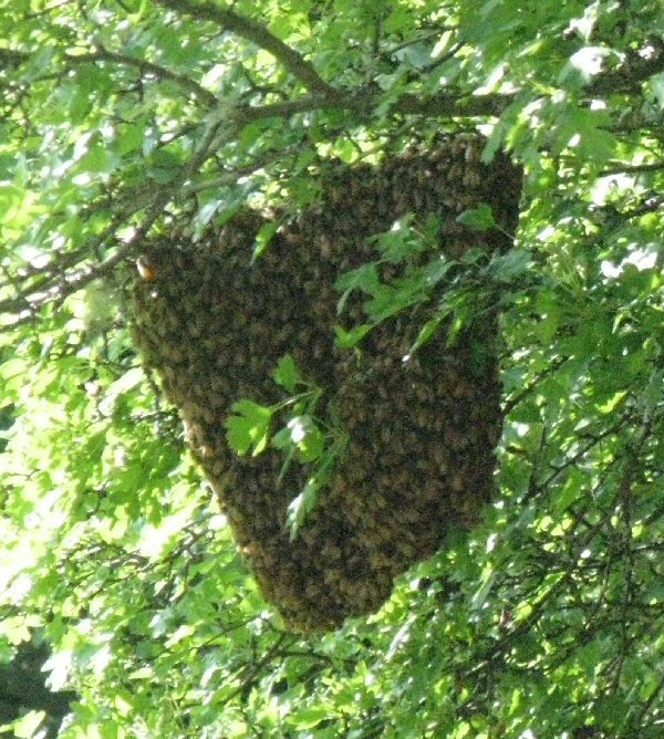 Swarm in hawthorne tree