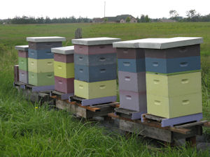 Hives at Purple Haze